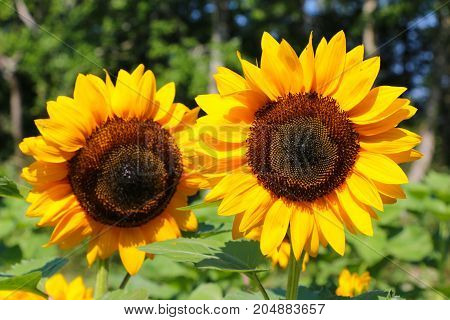 A pair of large sunflowers out in a field.