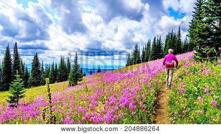 Senior woman hiking through alpine meadows covered in pink fireweed wildflowers in the high alpine near the village of Sun Peaks, in the Shuswap Highlands in central British Columbia Canada