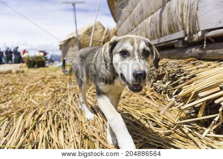 A dog on Floating Islands on Lake Titicaca Puno