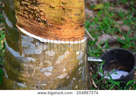 Latex from rubber tree (hevea brasilliensis) at Malaysia rubber plantation/