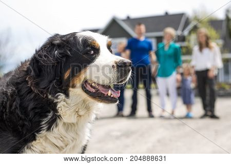 Bernese Mountain dog with family blur on the back