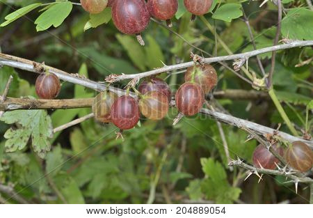 A close up of the berries of red berries gooseberry on branches.