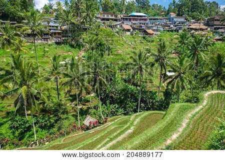 Beautiful rice terraces in the morning at Tegallalang village Ubud Bali Indonesia.