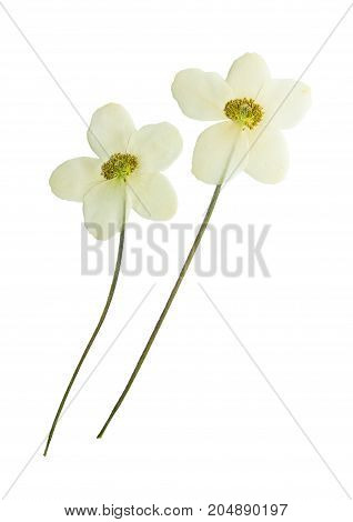 Pressed and dried flowers anemone isolated on white background. For use in scrapbooking floristry or herbarium.