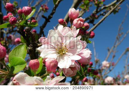 Spring blossom pink flowers bud and bloom on a tree branch