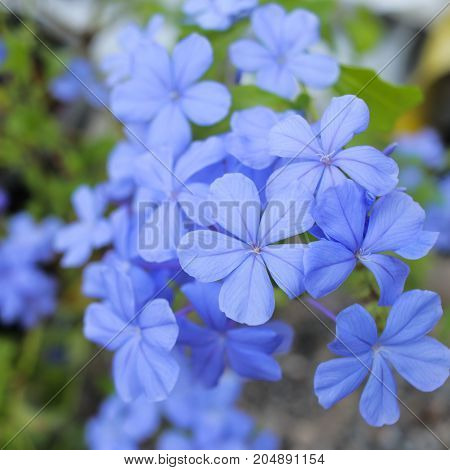Cape leadwort, White Plumbago , Plumbago auriculata, Beautiful blue flower in garden.