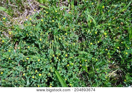 Low hop clover (Trifolium campestre), also called hop trefoil, blooms on a lawn in Joliet, Illinois during July.