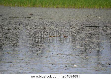 family of cinnamon teal ducks in Seney national wildlife refuge in northern michigan