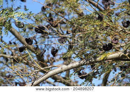 branches argentina and uruguayan autochthonous republic, known as black ear