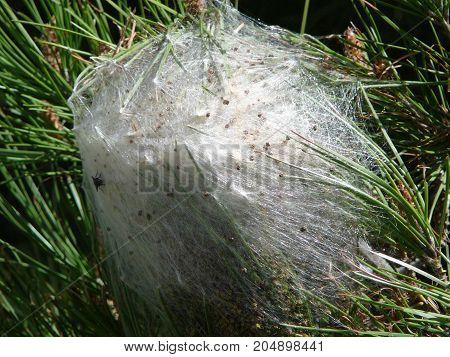 Processionary insect nest on fir tree near Alora Andalusia
