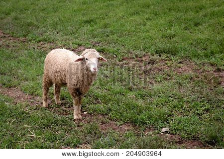 Young sheep walking on floor in farm.