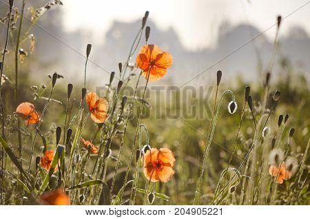 Red orange wild meadow poppy background in misty summer morning