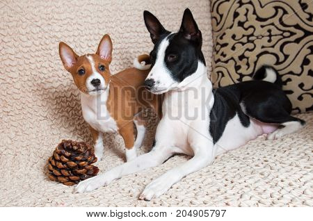 funny nice black Basenji puppy with mother black Basenji dog