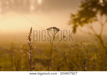 Misty summer end background morning sunrise dawn and wet dewy grass with spider webs