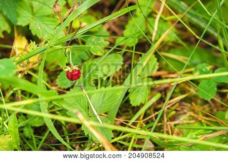 Close-up beautiful wild strawberry in a wild forest