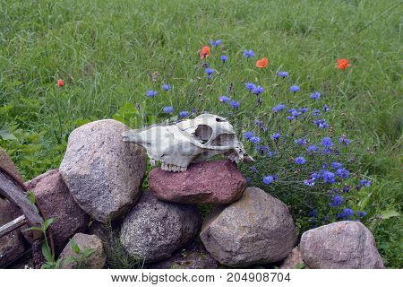Horse skull cranium on stone decorative fence in farm wild poppies and cornflowers blossoming