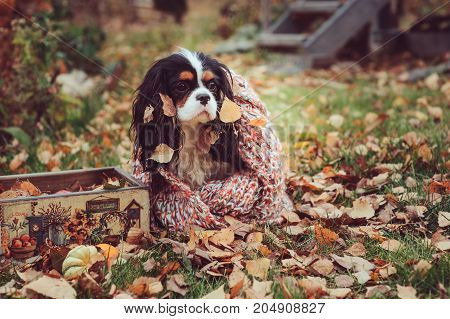 cavalier king charles spaniel dog relaxing outdoor on autumn walk