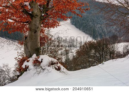 tree with weathered brown foliage in winter. beautiful nature winter scenery with spruce forest on the background