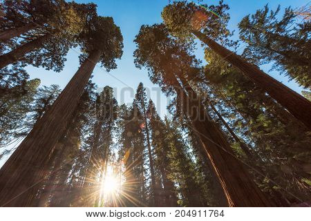 Redwood forest at sunset