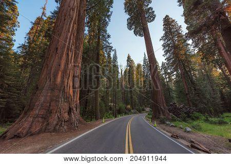 Driving through giants sequoias