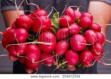 Freshly harvested, purple colorful radish. Growing radish. Growing vegetables