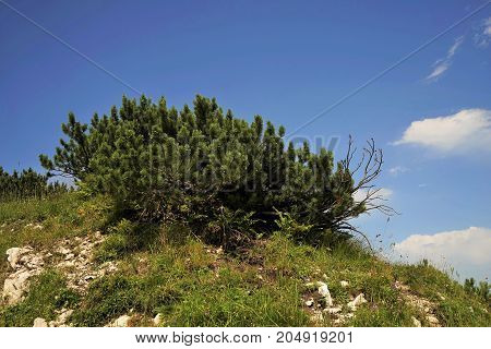 Dwarf pine tree in the Tyrolean Alps