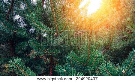 Photo depicting a bright evergreen pine . Little tiny colorful new fir-tree cone growth on the brunch. Macro, close up view.