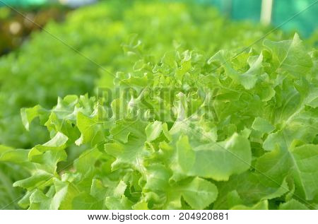 Abstract blur image of organic hydroponic vegetable farm on deck building,food or agriculture concept.