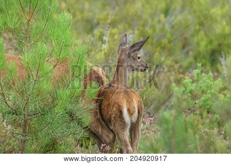 Long shot of wild small deer behind mom
