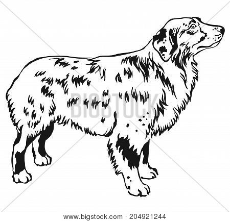 Decorative contour portrait of standing in profile Australian shepherd vector isolated illustration in black color on white background