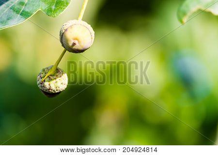 Unripe Two Green Acorns Growing On A Tree.