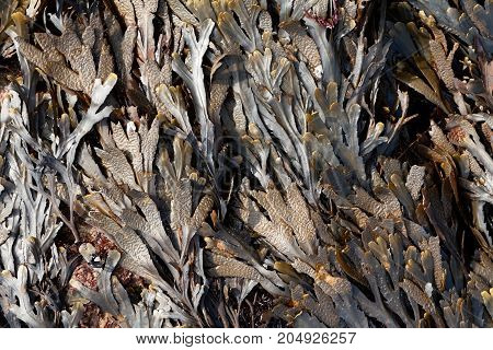 The Brown Algae Toothed Wrack (fucus Serratus)