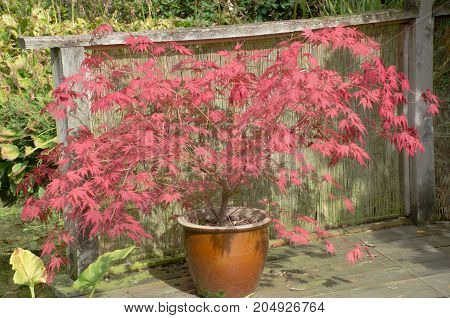 Large red acer in clay pot with spreading branches