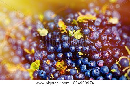 Detail of blueberry ripe berries of blueberries and light effect