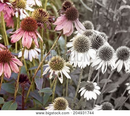 Coneflowers fading at the end of Summer