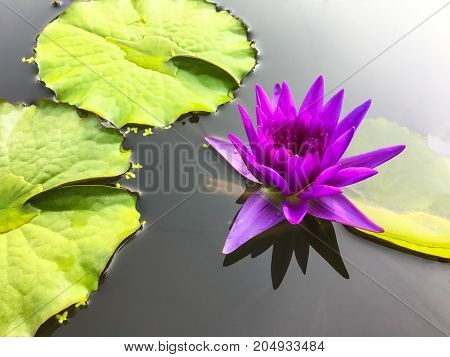 Beautiful water lily in pond for natural background