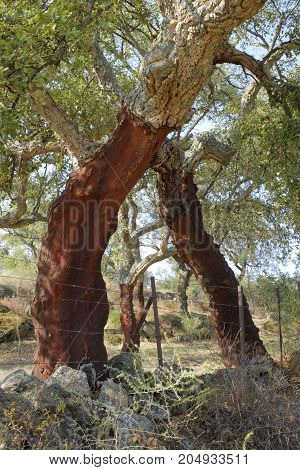 Trunk of cork tree - quercus suber - stripped of cork in southern Extremadura Spain.