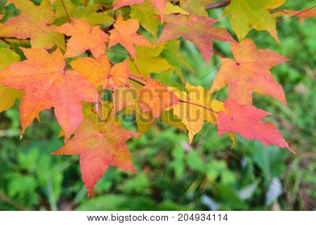 Colorful maple leaves on blurry green background. Autumn in park. Toned.