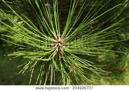 Green young needles of pine tree in forest.