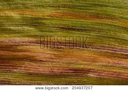 Autumnal Sweetcorn Foliage With Green, Orange And Red Stripes