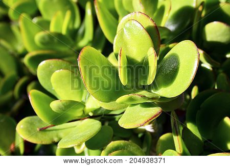 Crassula ovata (Jade Plant,Money Plant) succulent plant close up.Selective focus.Floral background.