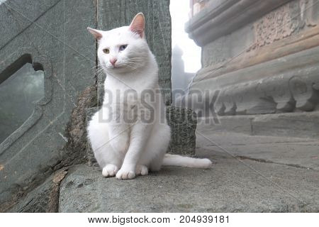 The white cat at the monastery in WUDANG MOUNTAIN Hubei China. It 's cute cat and two color eyes .it's looking something.