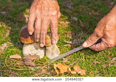 The Search For Mushrooms In The Woods. Mushroom Picker, Mushrooming . An Elderly Man Cuts A White Mu