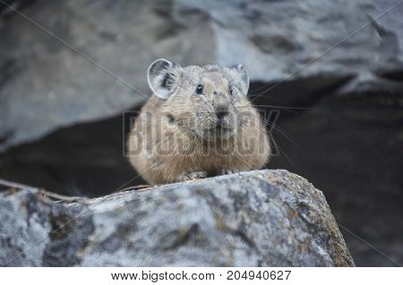 Altai pika on stone. Wild rodent animal