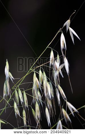Oat seeding with maturing ears and grain on a dark background