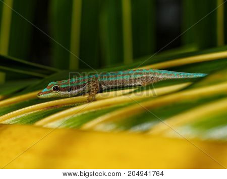Green and turquoise ornate day gecko in natural habitat