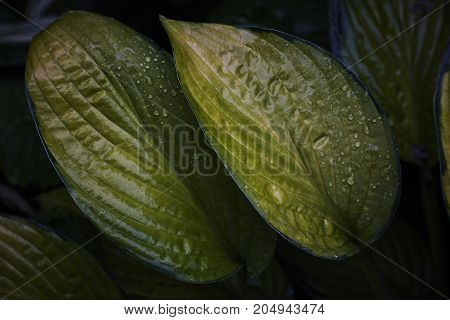 plantain lily hosta green wet leaves in dark contrast background