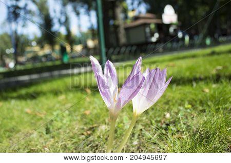 Crocus (plural: crocuses or croci) is a genus of flowering plants in the iris family. A single crocus. Crocus on the green grass. green meadow.