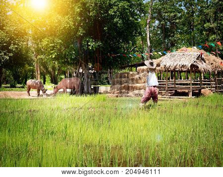 Rice fields in Thailand South East Asia. Rice field and straw with scarecrow and two cows with sun light effect filter