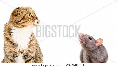 Portrait of a cat Scottish Fold and a curious rat, isolated on a white background